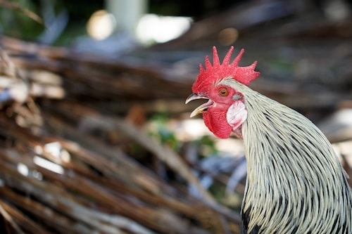 Rooster on Tortola BVI