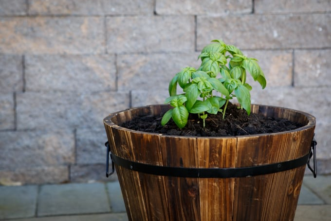 Summer Gardening with Basil